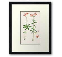 A Monograph of the Genus Lilium Henry John Elwes Illustrations W H Fitch 1880 0195 Framed Print