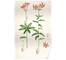 A Monograph of the Genus Lilium Henry John Elwes Illustrations W H Fitch 1880 0195 Poster