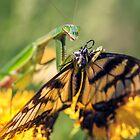 Mantid and Monarch by alan shapiro