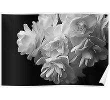Jonquils in black and white Poster