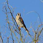American Kestrel ~ Male by Kimberly Chadwick