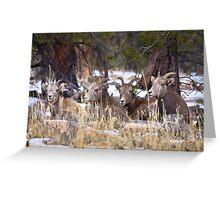 Red Canyon Bighorn Ewes Greeting Card