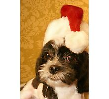 Merry Christmas from one Shih Tzu to another Photographic Print