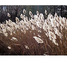 White horsetails Photographic Print