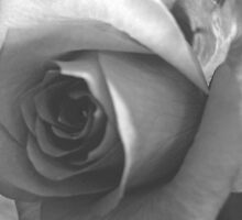 Close-up of a Rose by benetta-strydom