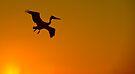 Flight of the Pelican by Eyal Nahmias