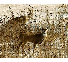 Whitetail Couple Photographic Print