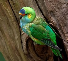Purple-Crowned Lorikeet by Margot Kiesskalt