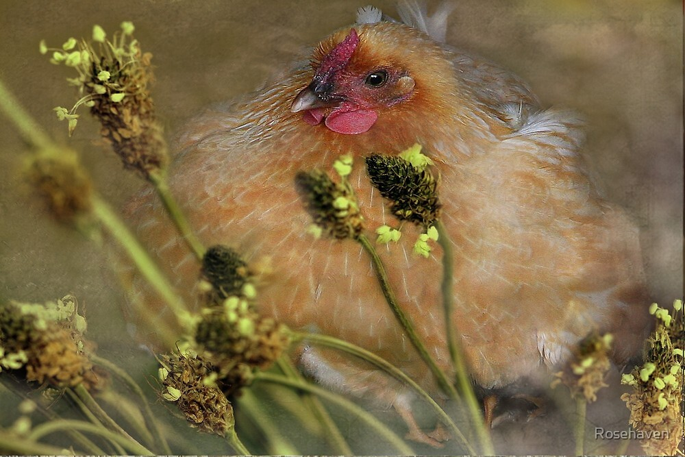 """""""Chickies in the Grasses ..."""" by Rosehaven"""