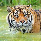 Tiger, Christchurch. South Island, New Zealand. by Ralph de Zilva