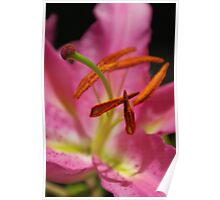 Pink Lilly in the Summer Poster