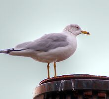 seagull on the pole by henuly1