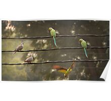 Rose-ringed parakeets and rock pigeons on a wire Poster