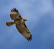 Red-Tail Hawk by Rob Lavoie