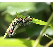 Caterpillar snacking Photographic Print