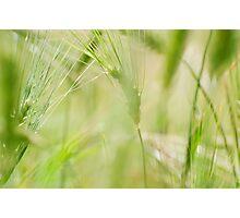 Green Barley Photographic Print