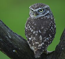 little owl by stephen  barber