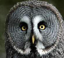 owl face by stephen  barber