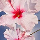 Pink Hibiscus by Alex  Bramwell