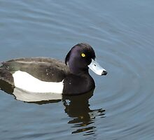 Tufted Duck by CreativeEm