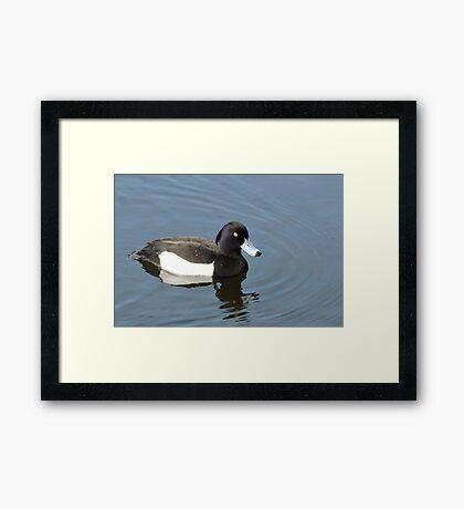 Tufted Duck Framed Print
