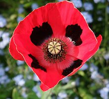 Pretty Poppy  by MichelleRees
