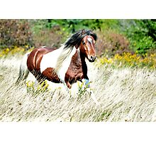Pippin - Grayson Highlands Pony Stallion Photographic Print