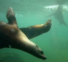 Sea Lions by kostolany244