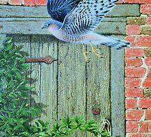 `Sparrowhawk Wiltshire`  by Stephen Lewis Gilmore
