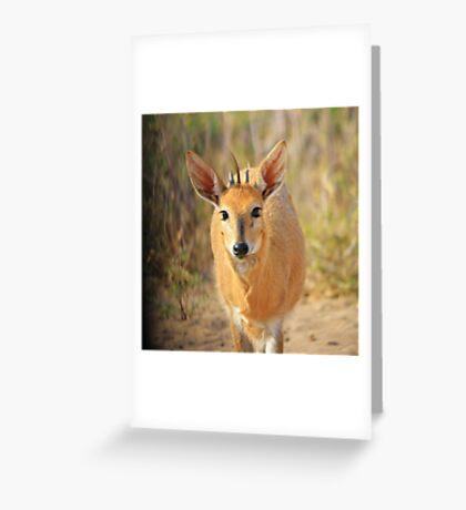 Duiker Ram - Wildlife Curly Cuteness  Greeting Card