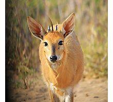 Duiker Ram - Wildlife Curly Cuteness  Photographic Print