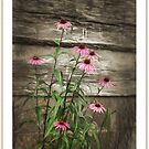 Echinacea  by jules572