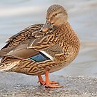 Female  mallard on Wall Prague 3715 by pogomcl