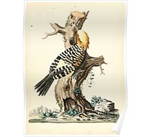 New Illustrations of Zoology Peter Brown 1776 0061 Birds Poster