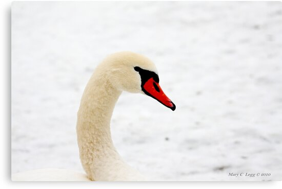 Inquisitive swan 3958 by pogomcl