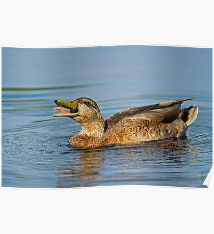 Feeding Duck Poster