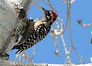 Ladder-backed Woodpecker ~ Male by Kimberly Chadwick
