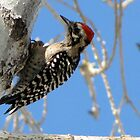 Ladder-backed Woodpecker ~ Male by Kimberly P-Chadwick