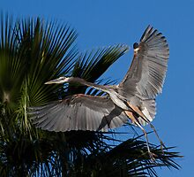 1212102 Great Blue Heron by Marvin Collins