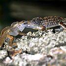 Battling lizards by David Lee Thompson