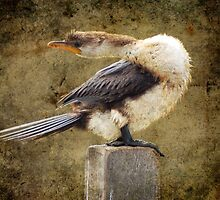 Little Pied Cormorant by Eve Parry