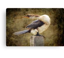 Little Pied Cormorant Canvas Print