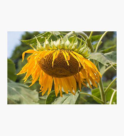 Last Breath of the Sunflower Photographic Print