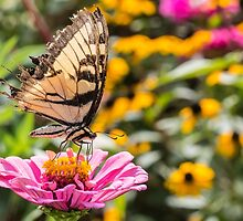 Tattered Wings of the Swallowtail by Sherry V. Smith Fine Art Photography