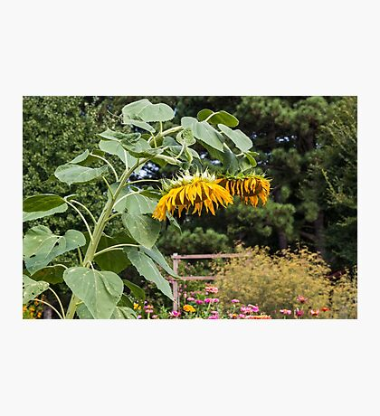 Wilted Sunflowers in Garden Photographic Print