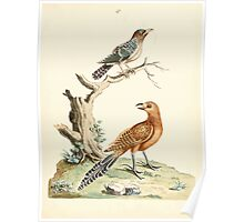 New Illustrations of Zoology Peter Brown 1776 0067 Birds Poster