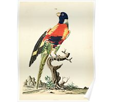 New Illustrations of Zoology Peter Brown 1776 0041 Birds Poster
