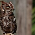 Eastern Screech-Owl (Megascops asio) by D R Moore