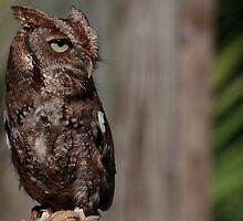 Eastern Screech-Owl (Megascops asio) by D R Moore