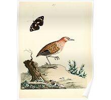 New Illustrations of Zoology Peter Brown 1776 0179 Birds Poster